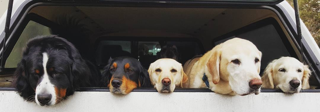 dogs-in-MDL-Truck-crop